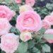 霊山寺 バラ庭園に行ってきました