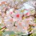 おすすめ桜スポット 桜色に染まる三室山と竜田川