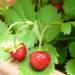 お庭のワイルドストロベリーとイチゴのケーキ